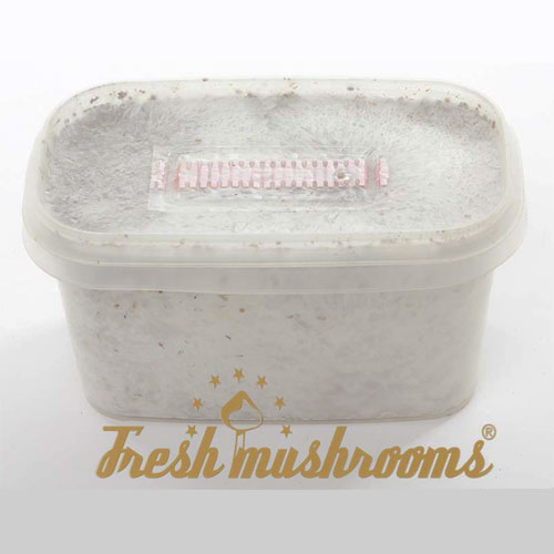 100% MYCELIUM Mini Columbian Paddo Growkit 600cc